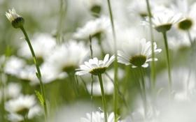 Обои стебли, природа, поле, лепестки, ромашки, цветы