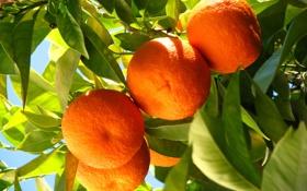 Обои апельсины, oranges, leaves, fruits