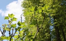 Обои небо, листья, ягоды, смородина