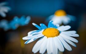 Обои природа, ромашка, фотограф ann_ann, цветы