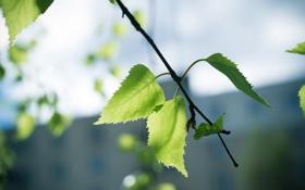 Картинка лето, лист, ветка