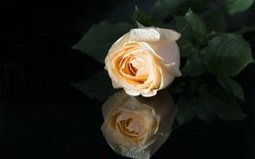Обои отражение, роза, бутон, чёрный фон