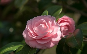 Обои листья, цветок, камелия, цветение, розовая, ветка, нежность