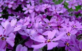 Обои flower, pink, flowers, purple, violet