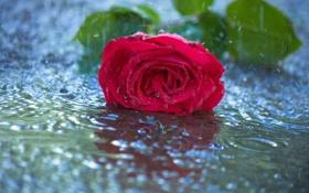 Обои цветок, вода, капли, дождь, роза, красная
