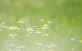 Картинка лето, зелень, ромашки, размытость, поляна, белые, природа