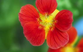 Картинка цветок, макро, красный, вьюнок