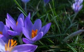 Обои весна, сиреневые, крокусы, цветы