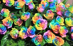 Обои розы, радуга, букет, лепестки