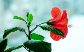 Картинка цветок, гибискус, цветет, окно, красный, цветы