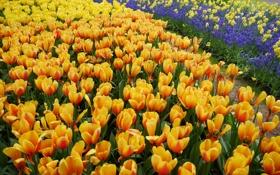 Картинка желтые, тюльпаны, оранжевые, много