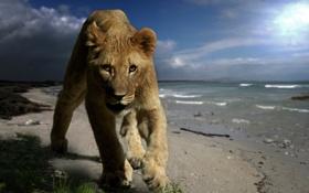 Картинка животное, побережье, хищник, лев, детёныш