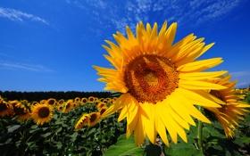 Обои поле, цвет, небо, цветы, подсолнух