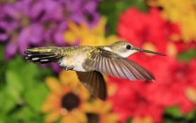 Обои птица, крылья, клюв, колибри