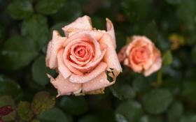Обои цветы, роза, макро. роса
