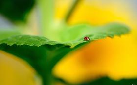 Картинка лист, божья коровка, фокус, размытость, насекмое