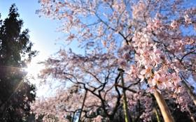 Обои солнце, лучи, деревья, цветы, вишня, настроение, обои