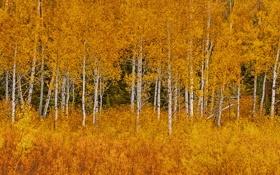 Обои осень, листья, деревья, Вайоминг, США, роща, Grand Teton National Park