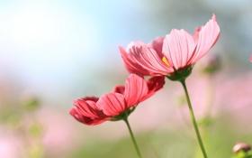 Обои cosmos, nature, flowers
