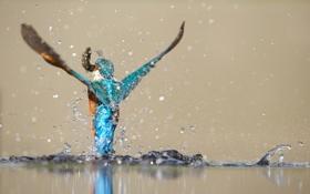 Картинка вода, пруд, птица, еда, рыба, взмах, зимородок