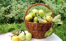 Картинка капли, корзина, яблоки, урожай, фрукты