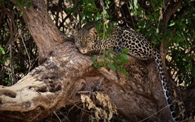 Обои морда, ветки, дерево, отдых, листва, хищник, леопард