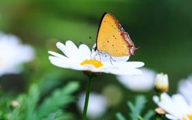 Картинка макро, цветы, природа, бабочка, ромашка
