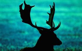 Картинка олень, силуэт, рога, поле, трава