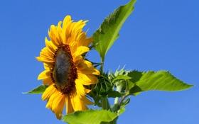 Картинка цветок, небо, листья, природа, подсолнух, лепестки