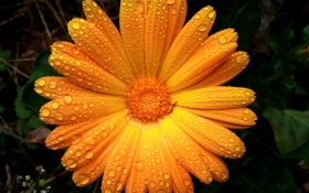 Обои flowers, orange, raindrops