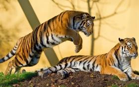 Картинка тигр, хищник, пара, амурский