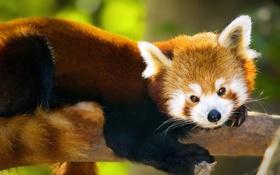 Обои глаза, панда, шерсть, обои