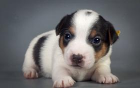 Картинка фон, щенок, собака