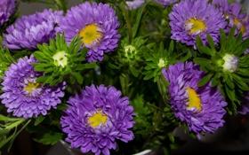 Обои лепестки, бутон, астра, цветение, сиреневая, tulips