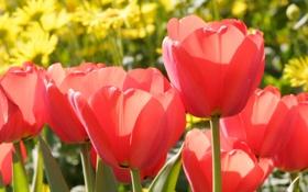 Обои бутоны, цветы, тюльпаны, весна, красный