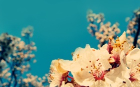 Обои синева, цветение, вишня, сакура, небо, ветка