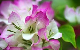 Обои листья, цветы, розовые, белые
