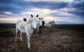 Обои поле, закат, кони