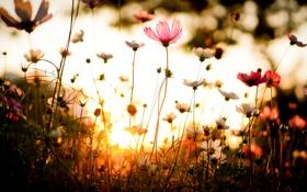 Картинка трава, закат, Цветок, flower