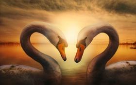 Картинка любовь, озеро, обработка, пара, лебеди, Spring feelings
