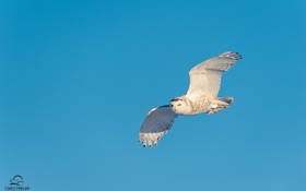 Обои небо, птица, полярная сова, полёт, крылья, хищник