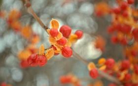 Обои листья, природа, ягоды, ветка, плоды