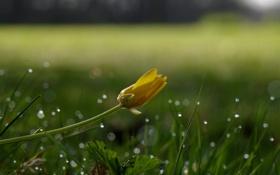 Обои цветок, трава, капли, желтый, роса, блики, бутон