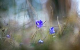 Картинка природа, весна, фиалки, макро, цветы