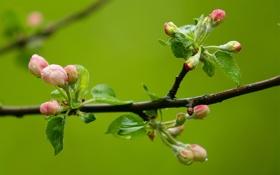 Обои макро, цвет, ветка, начало, яблони