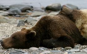 Обои камни, фото, берег, сон, медведи, лежат