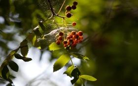 Картинка листья, рябина, паутина, зелень, ягодки, свет, листва