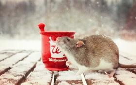 Картинка фон, чашка, крыса