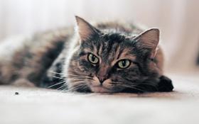 Обои кошка, глаза, усы, муха