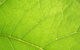 Обои солнце, лето, лист, зелёный лист, прожилки